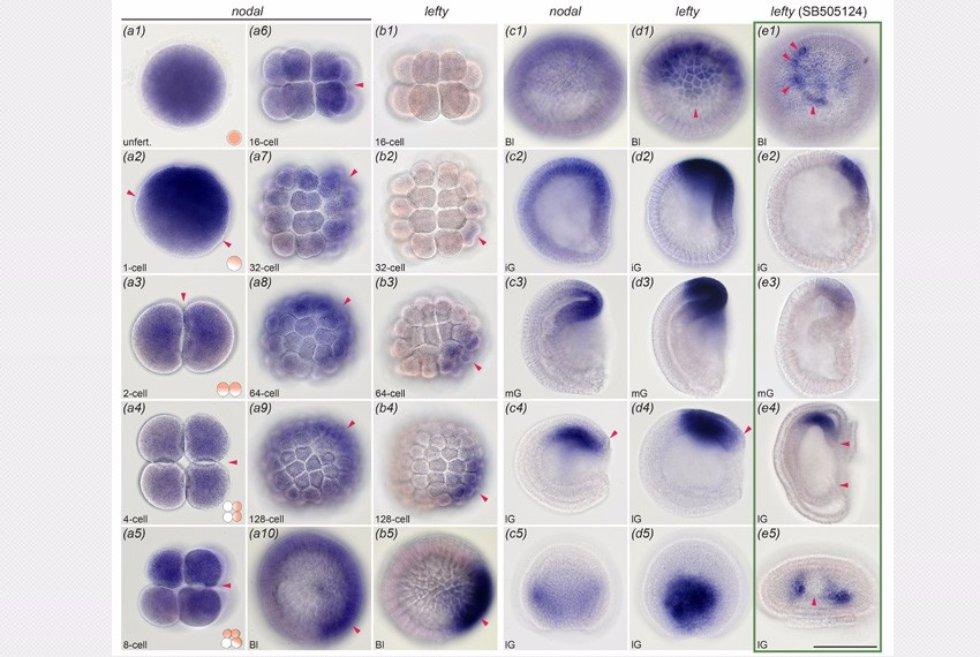 Трехлетняя интенсивная научная работа Арсения в лаборатории  Из диссертации phd Морова А Р Материнская и зиготическая экспрессия гена nodal и гена lefty