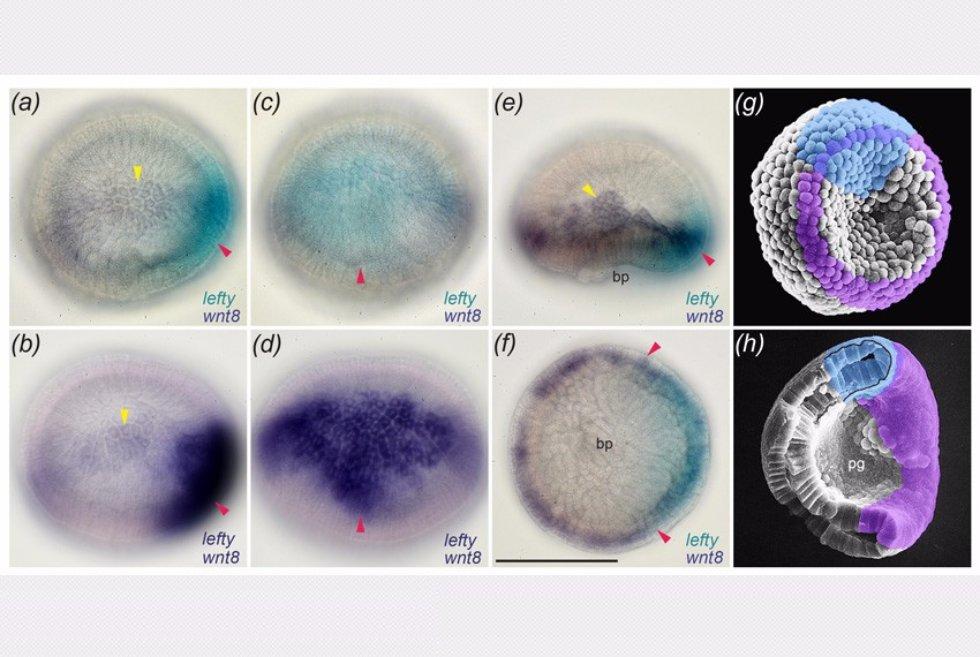 Трехлетняя интенсивная научная работа Арсения в лаборатории  Из диссертации phd Морова А Р Экспрессия гена lefty и гена wnt8 в отдельном эмбрионе